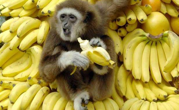 Chimpanzés, bananes et management